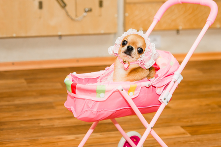 Chihuahua in baby costume in toy pram