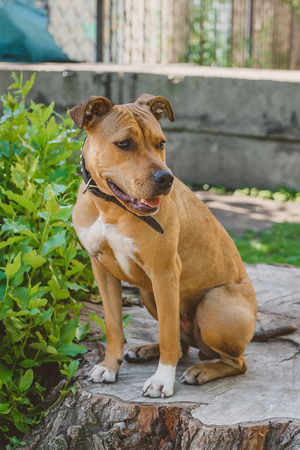 Young dog Staffordshire terrier sitting on a big stump portrait left side