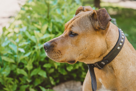 Young dog Staffordshire terrier sad profile