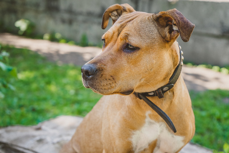 Young dog Staffordshire terrier portrait looking to the left Stock Photo