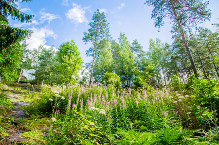 wild grass in bright summer forest in Karelia