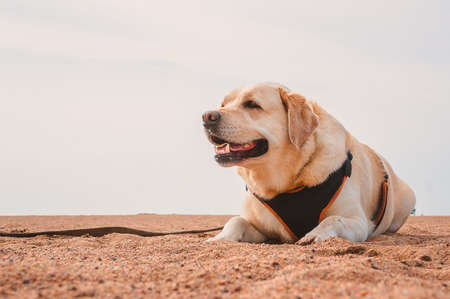 Labrador Retriever in the heat lies on the sand. Rest of the dog on the sea