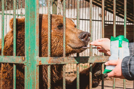 A hand holds out a nut to a brown bear behind bars in a cage. Feeding wild animals in the zoo