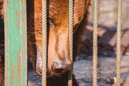 The head of a brown bear behind the metal rod of a cage stares at the camera. Portrait of a Wild predatory animal in a zoo. Reklamní fotografie