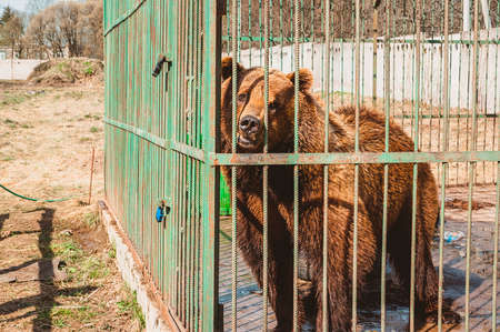 A brown bear stands in an enclosure and looks through the bars of a zoo cage. Care for wild animals in a veterinary hospital