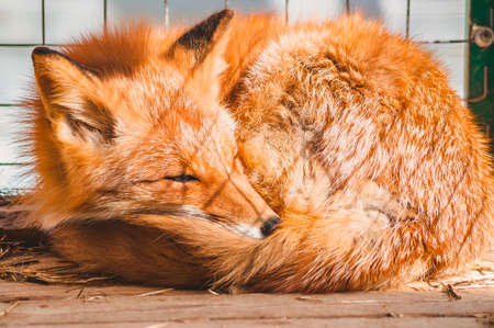 A sick Fox sleeps on the floor of the cage. Assistance to wild animals in a veterinary hospital