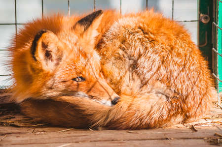 The Fox is curled up on the floor of the cage. Assistance to wild animals in a veterinary hospital