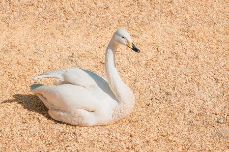 A young Swan is lying in a warm enclosure. Raising wild birds on a home farm Archivio Fotografico