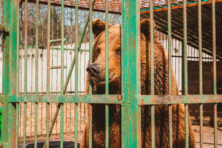 A brown bear gazes dreamily through the bars of a zoo cage. Care for wild animals in a veterinary hospital