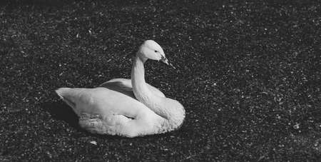A lone Swan lies in the mud. Black and white portrait of a wild bird Archivio Fotografico