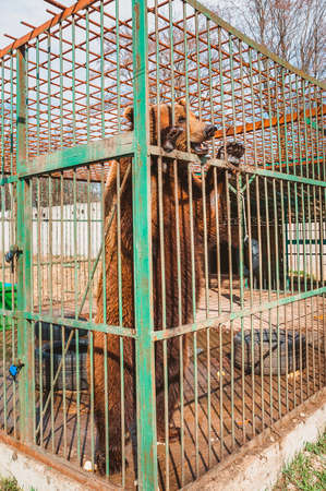 A brown bear stands on its hind legs and looks through the bars of a zoo cage. Care for wild animals in a veterinary hospital 스톡 콘텐츠
