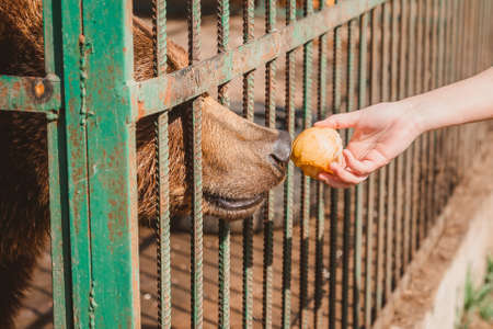 Hand extends an Apple to the bear. Feeding animals fruit in the zoo