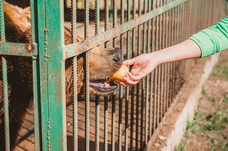 A bear eats an Apple from a man's hand through the bars of a cage. Feeding animals with fruit in a veterinary hospital for wild beasts