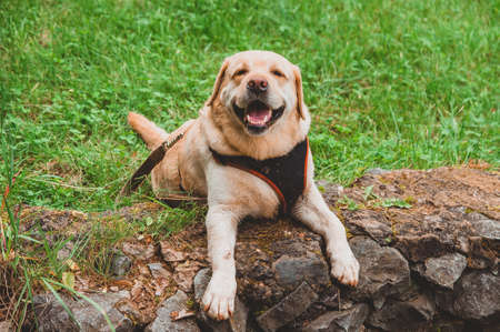 A Labrador Retriever in a harness lies on the grass and laughs. The dog rests on a walk in the heat of summer.