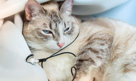 A sly Cat stole the headphones and got tangled in the wires. Recreation of the Siamese point lynx