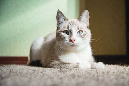 white cat lying on a carpet in a room and looking straight