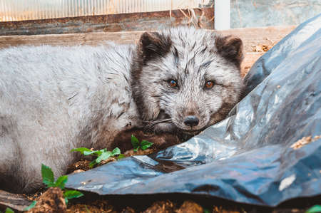 A wet wild blue Arctic Fox is lying on the ground, hidden in a garden plot. Injured wild animals in the countryside