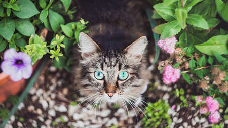 Top view of a fluffy Tabby cat sitting in a flower bed in the home garden. Walking Pets in nature in the Park Imagens