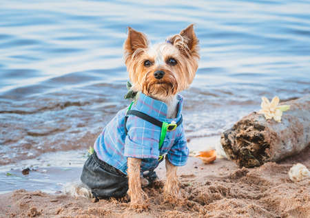 A Yorkshire Terrier in a blue suit stands on a sandy beach. Photo session of a dog against the background of the sea and shells
