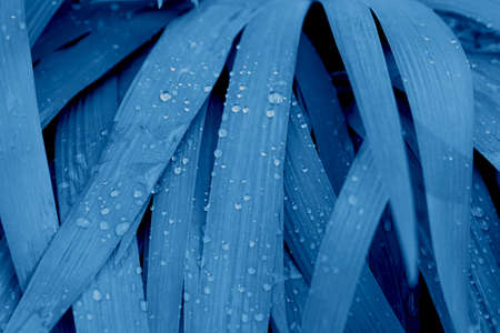 Beautiful close up picture of leaves with drops of water after the rain in the trendy classic blue color of the year. Stok Fotoğraf