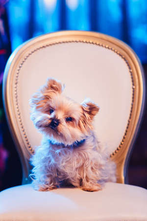 Cute Yorkshire Terrier girl resting on a leather chair before shearing