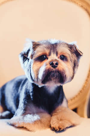 Cute Yorkshire Terrier boy resting on a leather chair after shearing. close up portrait