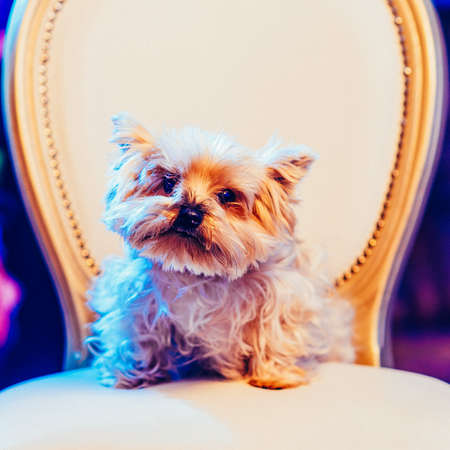 Cute Yorkshire Terrier girl resting on a leather chair before shearing. Toned image. portrait view. square cropping