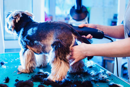 Female groomer haircut yorkshire terrier on the table for grooming in the beauty salon for dogs. rough hairstyle of a dog. from the side with shorn hair view Stok Fotoğraf