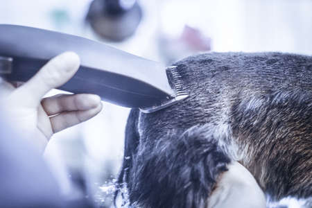 Female groomer haircut yorkshire terrier on the table for grooming in the beauty salon for dogs. Toned image. rough hairstyle of a dog. from the back view close Stock Photo