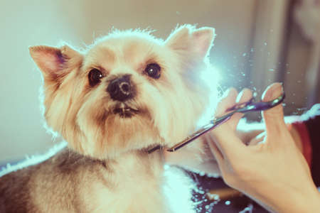 Female groomer haircut yorkshire terrier on the table for grooming in the beauty salon for dogs. Toned picture. process of final shearing of a dogs hair with scissors Stock Photo
