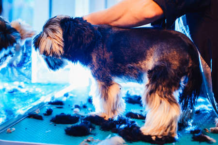 Female groomer haircut yorkshire terrier on the table for grooming in the beauty salon for dogs. rough hairstyle of a dog. from the side with shorn hair view close