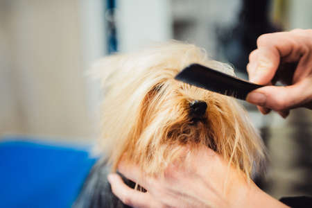 Female groomer haircut yorkshire terrier on the table for grooming in the beauty salon for dogs. process of final shearing of a dogs hair with scissors. muzzle of a dog view