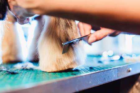 Female groomer haircut yorkshire terrier on the table for grooming in the beauty salon for dogs. process of final shearing of a dog's hair with scissors Archivio Fotografico