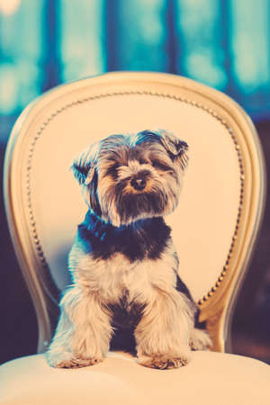 Cute Yorkshire Terrier boy resting on a leather chair before shearing. Toned image. Stock Photo