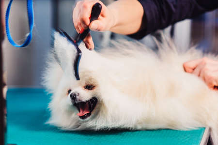 The concept of popularizing grooming haircuts and caring for dogs. combing out a special comb and drying the wool of spitz dog. Фото со стока