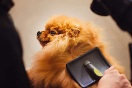 Pomeranian dog with red hair like a fox on the table for grooming. The concept of popularizing haircuts and caring for dogs. Drying of wool with a special hair dryer from the top