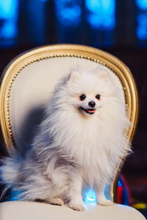 Cute Pomeranian dog resting on a leather chair. Spitz dog before shearing view
