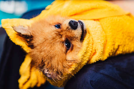 Pomeranian dog with red hair like a fox in the bathroom in the beauty salon for dogs. The concept of popularizing haircuts and caring for dogs. Spitz dog swirled in a towel view