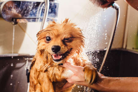 Pomeranian dog with red hair like a fox in the bathroom in the beauty salon for dogs. The concept of popularizing haircuts and caring for dogs. spitz dog in the washing process. muzzle cunning grin
