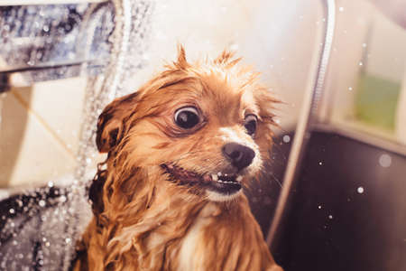 Pomeranian dog with red hair like a fox in the bathroom in the beauty salon for dogs. The concept of popularizing haircuts and caring for dogs. muzzle of spitz dog in the water