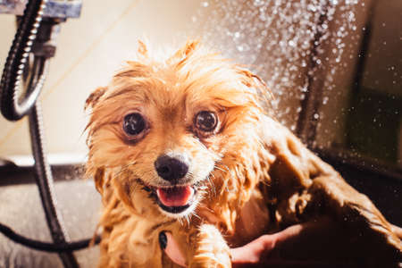 Pomeranian dog with red hair like a fox in the bathroom in the beauty salon for dogs. The concept of popularizing haircuts and caring for dogs. Cute muzzle of spitz dog in the water close up
