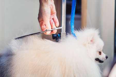 The concept of popularizing grooming haircuts and caring for dogs. model haircut of a dogs hair with special scissors from the side view