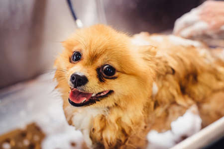 Pomeranian dog with red hair like a fox in the bathroom in the beauty salon for dogs. The concept of popularizing haircuts and caring for dogs. Cute spitz dog in the washing process