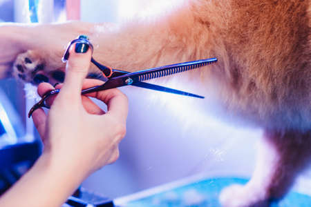 The concept of popularizing grooming haircuts and caring for dogs. model haircut Pomeranian dog with red hair like a fox with special scissors from the back close up view Фото со стока