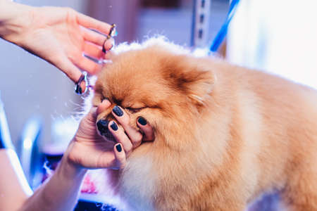The concept of popularizing grooming haircuts and caring for dogs. model haircut Pomeranian dog with red hair like a fox with special scissors from the side close up view