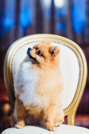 Cute Pomeranian dog with red hair like a fox resting on the chair. Spitz dog after shearing from afar view