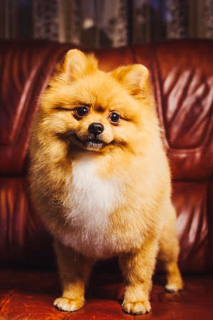 Cute Pomeranian dog with red hair like a fox resting on the chair. Spitz dog after shearing close up vertical portrait