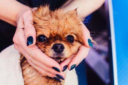 Pomeranian dog with red hair like a fox in the bathroom in the beauty salon for dogs. The concept of popularizing haircuts and caring for dogs. Spitz dog swirled in a towel from the front view Фото со стока