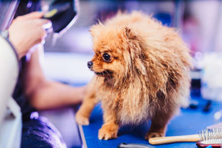 Pomeranian dog with red hair like a fox on the table for grooming. The concept of popularizing haircuts and caring for dogs. Drying of wool with a special hair dryer from the front close up view