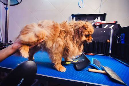 Pomeranian dog with red hair like a fox on the table for grooming. The concept of popularizing haircuts and caring for dogs. Drying of wool with a special hair dryer